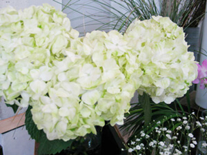 Cut flowers of Hydrangea