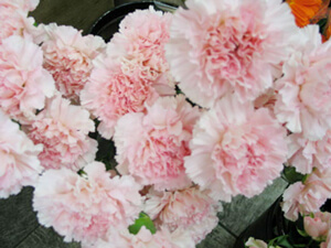 Cut flowers of Carnation