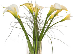 Cut flowers of Calla lily